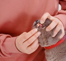 Examining the teeth cat with gingivitis