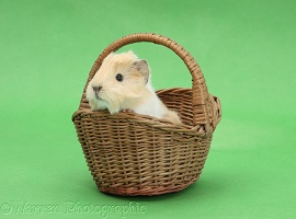 Baby Guinea pig in a wicker basket on green background