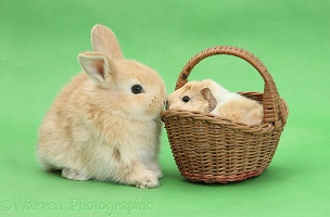 Young rabbit with baby Guinea pig in a wicker basket