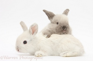White and grey baby rabbits
