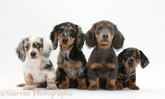 Assorted Dachshund pups