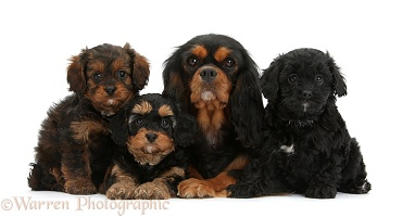 Black-and-tan King Charles and Cavapoo pups