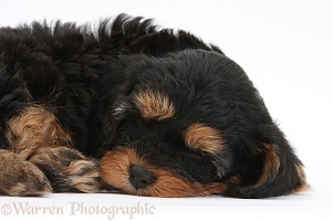 Sleeping black-and-tan Cavapoo pup