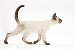 Siamese kitten, 10 weeks old, walking across