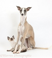 Whippet bitch and Siamese kitten