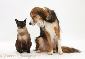 Border Collie and Siamese cat