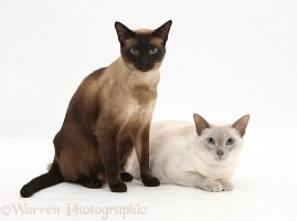 Seal point and Blue point Siamese-cross cats