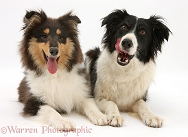 Rough Collie and Border Collie