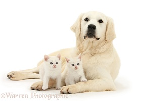 Golden Retriever and cream kittens