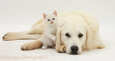 Golden Retriever and cream kitten