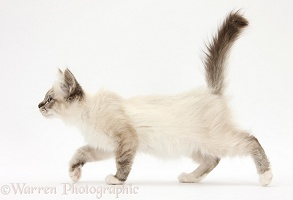 Tabby-point Birman kitten walking across