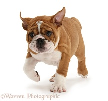 Bulldog pup, 11 weeks old, trotting forward