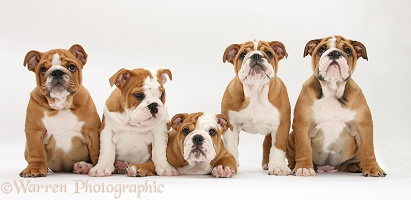 Five Bulldog pups, 11 weeks old