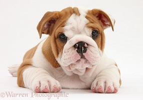 Bulldog pup, 8 weeks old, lying with head up