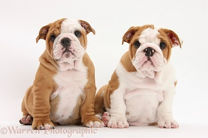 Two Bulldog pups, 8 weeks old, sitting