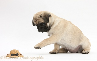 Fawn Pug pup investigating a toy straw hat