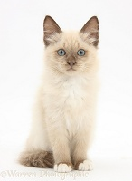 Birman-cross kitten sitting