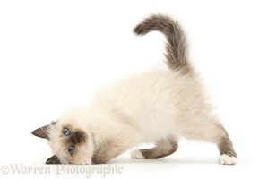 Birman-cross kitten 'listening' to the floor