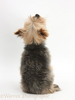 Yorkie looking up, back view