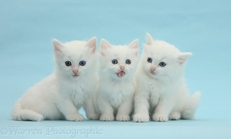 Three white kittens on blue background