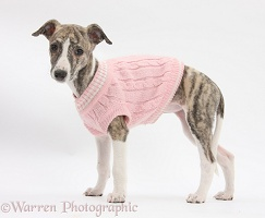 Brindle-and-white Whippet pup wearing a pink jersey