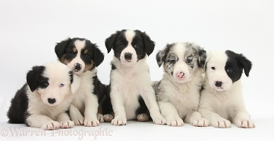 Five Border Collie pups, 6 weeks old