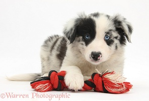 Border Collie puppy, 6 weeks old, with a ragger toy