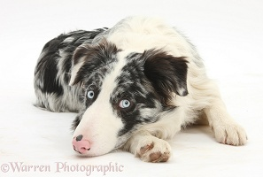 Blue merle Border Collie with chin on floor
