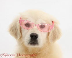 Yellow Labrador Retriever pup wearing glasses