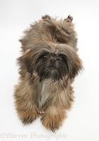 Brown Shih-tzu
