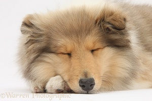 Sleeping Rough Collie pup