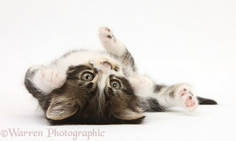 Tabby-and-white kitten rolling on its back