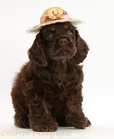 American Cocker Spaniel pup sitting, wearing straw hat
