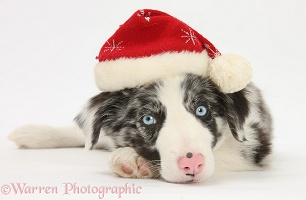 Blue merle Border Collie puppy Wearing a Santa hat