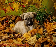 Longdog puppy among autumn leaves