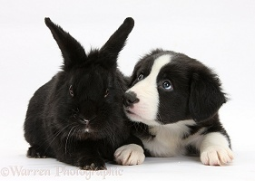 Border Collie pup and black rabbit