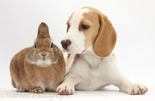 Orange-and-white Beagle pup and rabbit