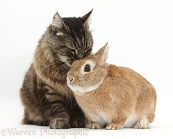 Elderly Tabby Manx-cross cat and Guinea pig