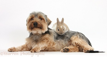 Yorkie and baby rabbit