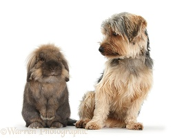 Yorkie and Lionhead-cross rabbit