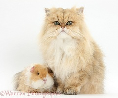 Golden Chinchilla Persian cat and Guinea pig