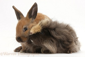 Long-haired Guinea pig and young rabbit