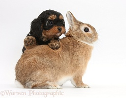 Cavapoo pup and rabbit