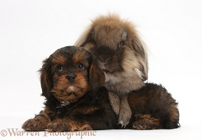 Lionhead-cross rabbit and Cavapoo pup