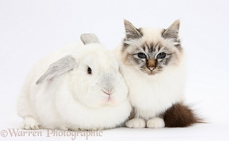 Tabby-point Birman cat and white rabbit