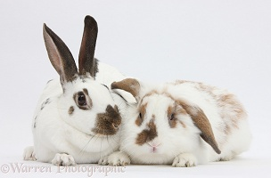 Two brown-and-white rabbits