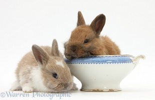 Baby Netherland dwarf-cross rabbits and china bowl