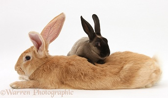 Flemish Giant Rabbit with sooty Rex rabbit
