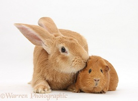 Flemish Giant Rabbit and Guinea pig