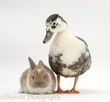 Call duck and baby rabbit